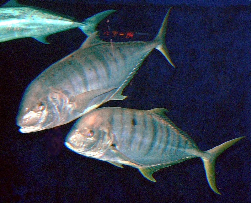 Gnathanodon speciosus 2.jpg