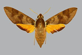 <i>Gnathothlibus vanuatuensis</i> species of insect