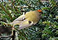 Goldcrest, male (Regulus regulus) (39181461815).jpg