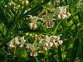Gomphocarpus fruticosus 008.JPG