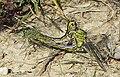 Gomphus-pulchellus03 0905.jpg