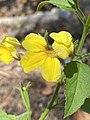 Goodenia grandiflora 01.jpg