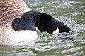 Goose - Stanborough Lakes March 2009 (3353651883).jpg