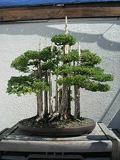 <i>Goshin</i> Historic Chinese Juniper bonsai