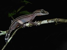 Graceful Madagascar Ground Gecko (Paroedura gracilis), Andasibe, Madagascar.jpg