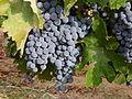 Grape 1180661.jpg