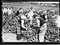 Grape picking - Penfolds(GN14176).jpg