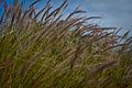 Grass at Wallaroo.jpg