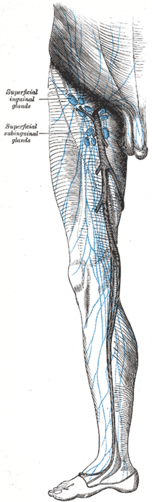 Superficial inguinal lymph nodes - The superficial lymph glands and lymphatic vessels of the lower extremity.