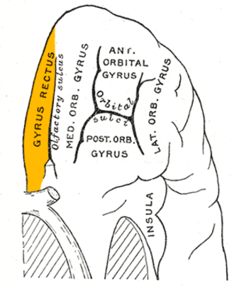 Straight gyrus - Orbital surface of left frontal lobe. Straight gyrus is shown in orange.