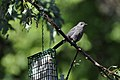 Gray Catbird at Feeder (4845978853).jpg