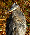 Great Blue Heron at Lake Woodruff - Flickr - Andrea Westmoreland (11).jpg