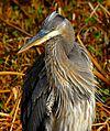 Great Blue Heron at Lake Woodruff - Flickr - Andrea Westmoreland (11).jpg