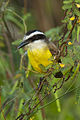 Great Kiskadee - Brazil MG 8863 (16918293675).jpg