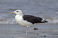 Great black-backed gull Larus marinus fourth-winter.jpg