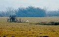 Great egret Egretta alba Голяма бяла чапла.jpg