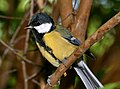 Great tit (parus major) (21029472382).jpg