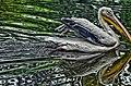 Great white pelican (Lahore Zoo) by Damn Cruze 2.jpg