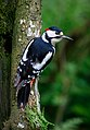 Greater Spotted Woodpecker (41554059345).jpg