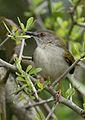 Green-backed camaroptera, Camaroptera brachyura, at Ndumo Nature Reserve, KwaZulu-Natal, South Africa (29088040655).jpg