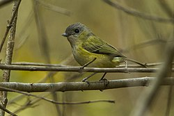 Green Shrike-Babbler - Bhutan S4E8256-Modifica (19521248546).jpg