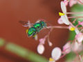 Green flying insect.jpg