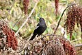 Grey-winged Blackbird Turdus boulboul Male by Dr. Raju Kasambe DSC 4018 (4).jpg