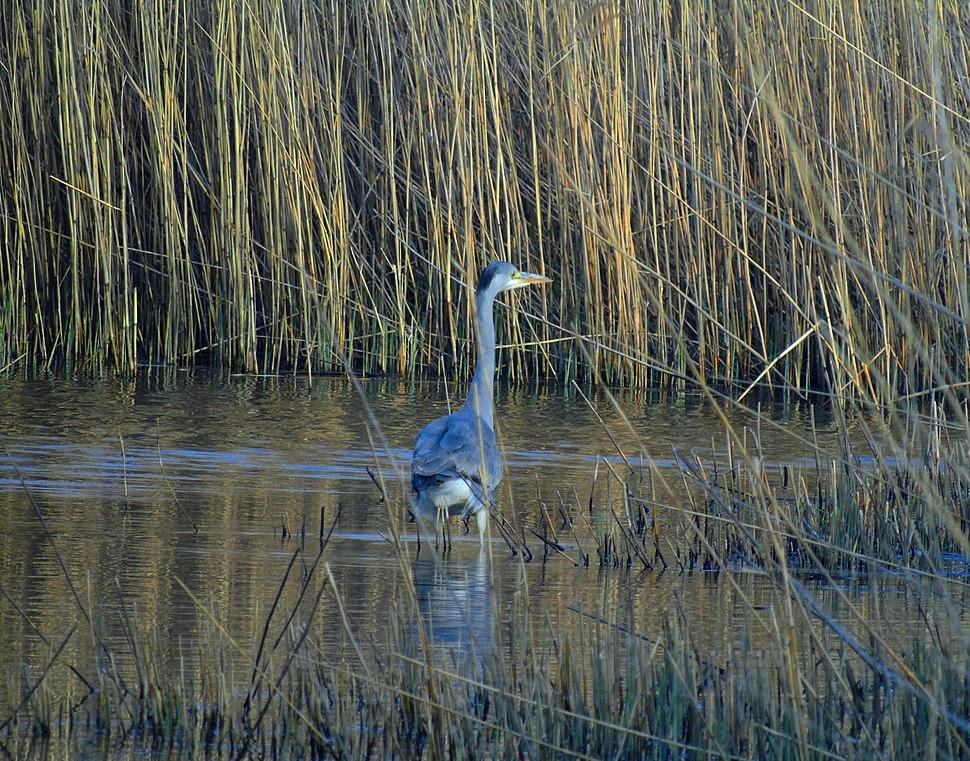 Grey Heron Fishing on Newport Wetlands RSPB Reserve Fenced Pond