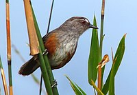 Grey breasted laughing thrush- Asambu Hill Race.jpg