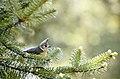 Grey crested tit (Lophophanes dichrous) from Uttarakhand JEG6003.jpg