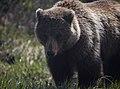 Grizzly (18d77234-a134-4f77-b27c-7d8eece7b379).jpg