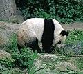 Großer Panda Bao Bao Berlin W 10.jpg