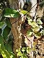 Guava Tree 091012.jpg