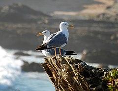 To adulte middelhavsmåger fotograferede i juli i Porto, Portugal.