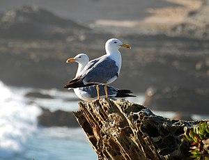 Pair of seagulls (Larus argentatus)