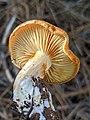 Gymnopilus sapineus 60978722.jpg