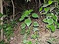 Gymnostachyum warrieranum (8287286544).jpg