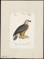 Gypaëtus barbatus - 1842-1848 - Print - Iconographia Zoologica - Special Collections University of Amsterdam - UBA01 IZ18100015.tif