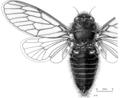 HEMI Cicadidae Maoricicada nigra nigra m.png