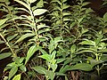HK 上環 Sheung Wan night green plants 般咸道 Bonham Road November 2017 IX1 t02 01.jpg