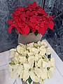 HK 中環 Central 怡和大廈 Jardine House Christmas flowers red n white November 2020 SS2 01.jpg