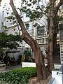 HK 中環 Central 百子里公園 Pak Tze Lane Park - Jan-2012 Ip4 - Tree 02.jpg
