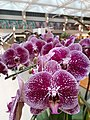 HK 中環 Central 置地廣場 Landmark Artium mall CNY decor flowers purple January 2020 SS2 02.jpg