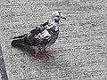 HK SYP 西環 Sai Ying Pun Market 正街 Centre Street 鴿子 pigeons near Third Street April 2020 SS2 08.jpg