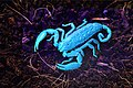 Hadogenes troglodytes under UV light.jpg