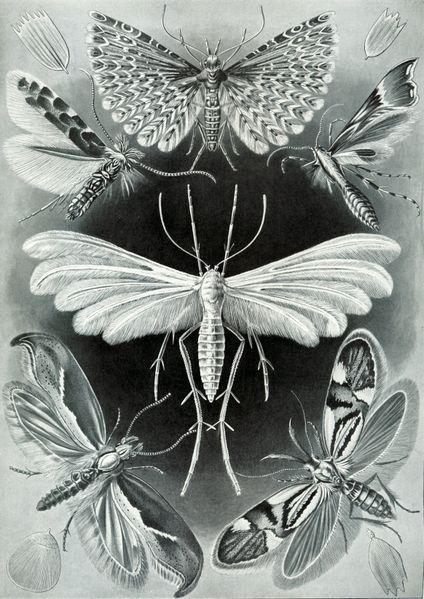 File:Haeckel Tineida.jpg
