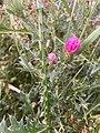 Halberstad Flora Pflanzen Harz 22 03 37 086000.jpeg