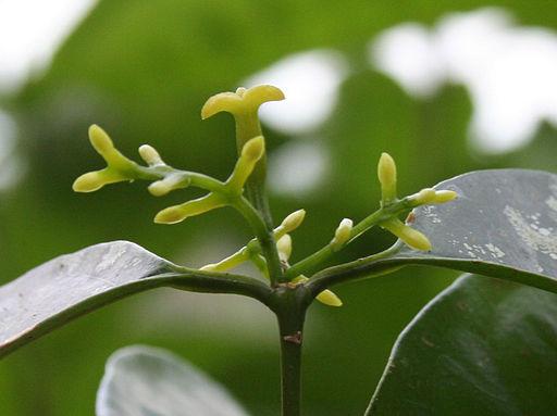 Haptanthus-pistil-stamens