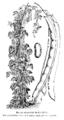 Haricot mangetout de la Vallée Vilmorin-Andrieux 1904.png