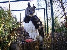 Die Harpyie , der einzige seiner Art ( Extremtyp ) 220px-Harpye_im_Zoo